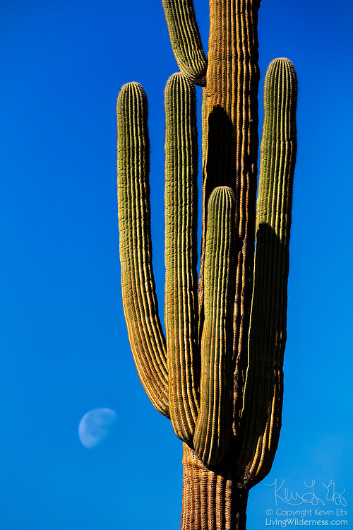 """The moon gets ready to set near the base of a large saguaro cactus (Carnegiea gigantea) in the Superstition Wilderness near Gold Canyon, Arizona. Saguaro are native to the Sonoran Desert and are known for their """"arms,"""" which take ages to grow. The saguaro can take 10 years to reach its first inch of height and another 60 years to produce its first flowers. By 95-100 years, saguaros can be 15-16 feet tall and may finally produce their first arm, though some of the cacti never generate one."""