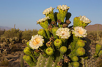 Closeup of saguaro flowers on top