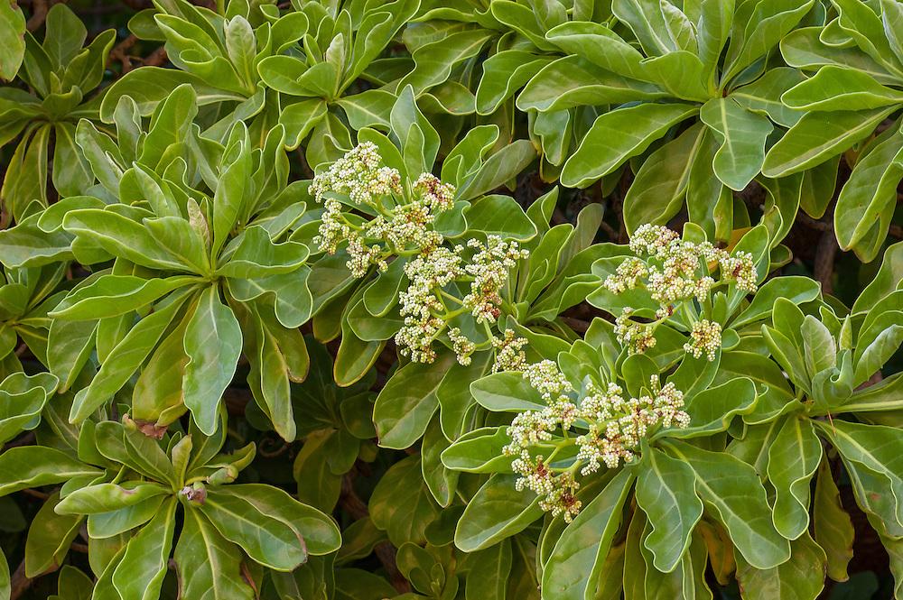 Tree Heliotrope (Heliotropium foertherianum), a common small tree or shrub native to the coastal areas of tropical Asia and the islands of Polynesia and Micronesia.