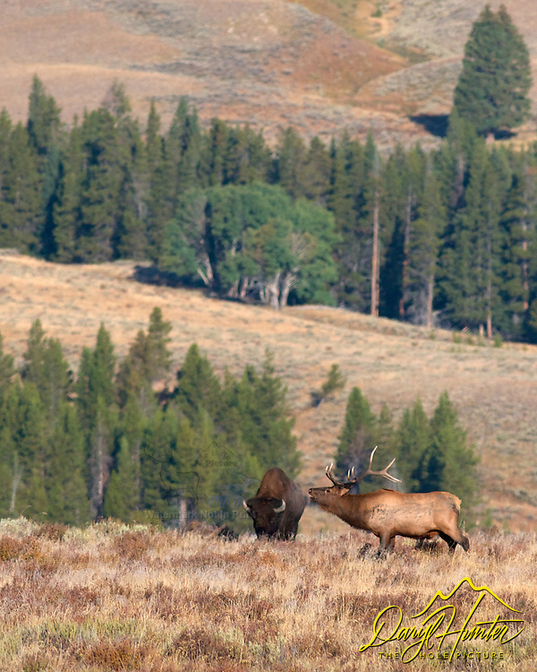 Can you hear me now, bull elk Bugling into bison's ear, or so it appears.