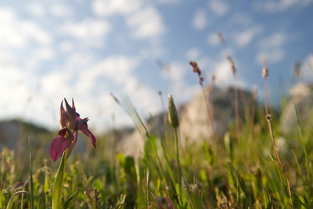 Apulia; Gargano National Park; Gargano Peninsula; Italy; Monte Sacro; Serapias lingua; Tongue Orchid