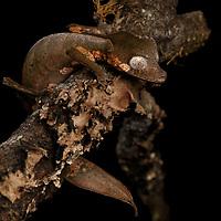 Satanic Leaf-tailed Gecko (Uroplatus phantasticus)