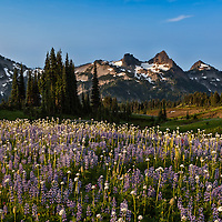 7:11 AM The Tatoosh Range, facing Mount Rainier from the other side of Mazama Ridge, is captioned by the wildflowers.
