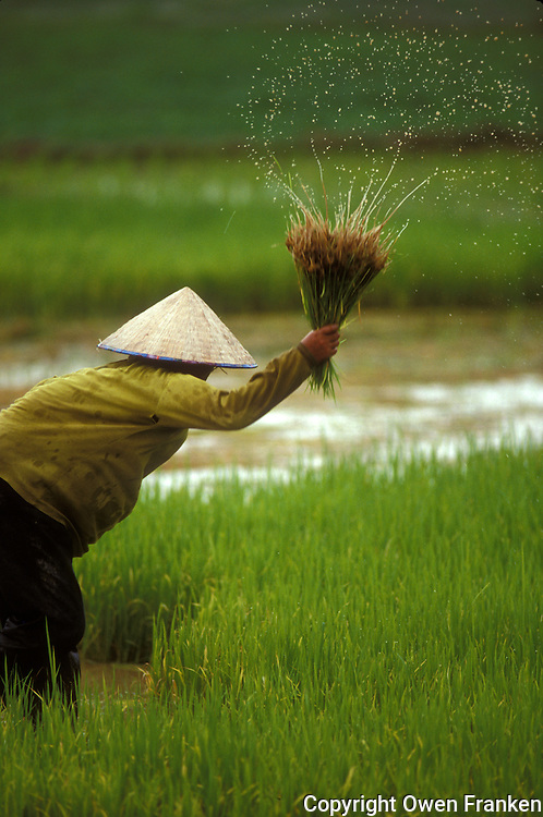 wet rice planting in Laos, Southeast Asia