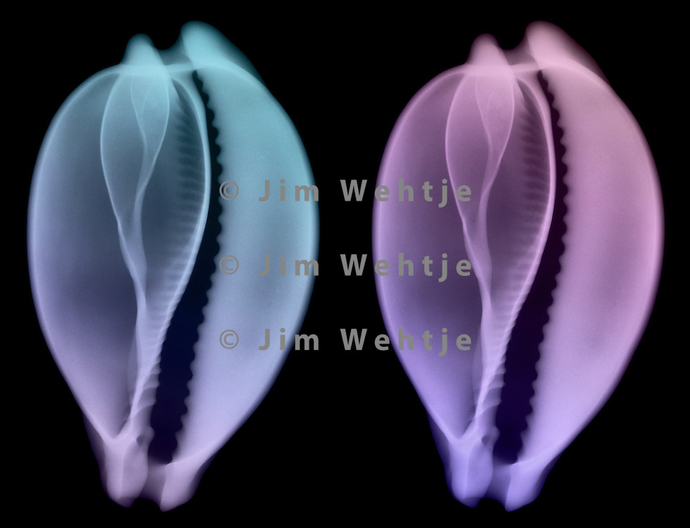 X-ray image of a camel cowrie seashell (color on black) by Jim Wehtje, specialist in x-ray art and design images.