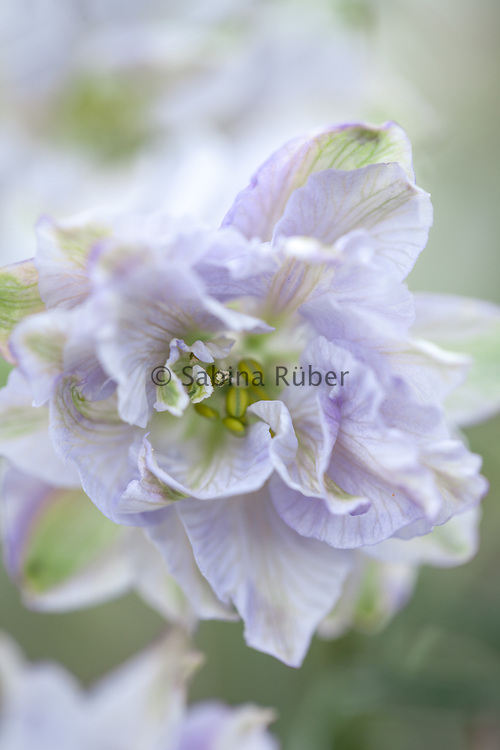 Delphinium consolida 'Fancy Smoke Eyes' - branching larkspur