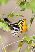 Blackburnian Warbler, Setophaga fusca, male, Ottawa County, Ohio