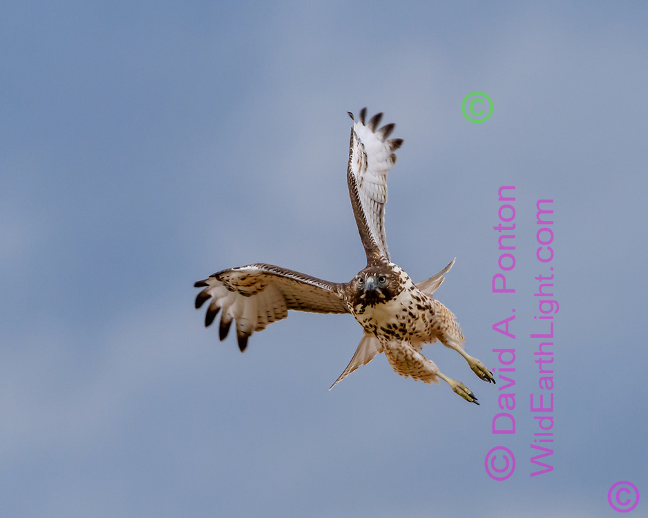 Juvenile red-tailed hawk in flight, flying toward the camera, © 2017 David A. Ponton [Prints to 8x10, 16x20, 24x30, or 40x50 in. with no cropping]