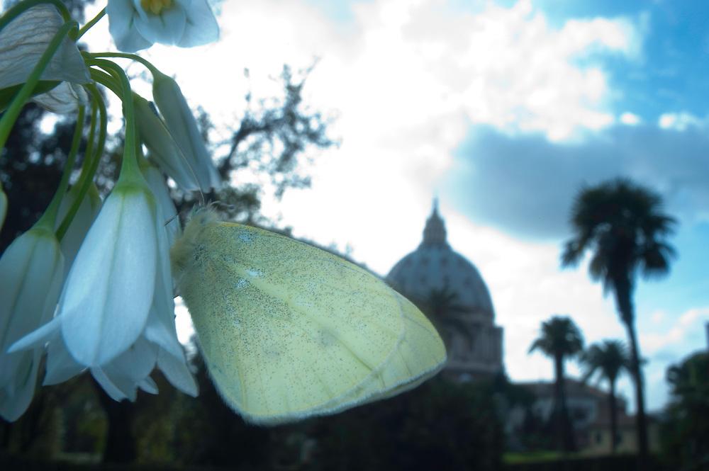 Butterfly in Vatican's garden, Rome, Italy