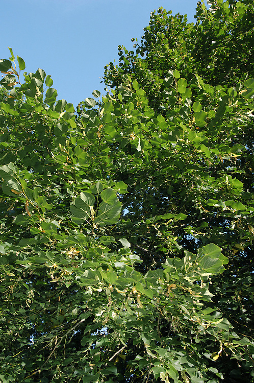 Large-leaved Lime Tilia platyphyllos (Tiliaceae) HEIGHT to 40m. Tall and often narrow deciduous tree. Bole is normally free of suckers and shoots, distinguishing this species from Lime. BARK Dark-grey with fine fissures in older trees, which can sometimes be ridged. BRANCHES Mostly ascending but with slightly pendent tips. Twigs are reddish-green and sometimes slightly downy at tip, and ovoid buds, to 6mm long, are dark red and sometimes slightly downy. LEAVES To 9cm long, sometimes to 15cm long, broadly ovate, with a short tapering point and irregularly heart-shaped base. Margins are sharply toothed, upper surface is soft and dark green and lower surface is paler and sometimes slightly hairy. REPRODUCTIVE PARTS Yellowish-white flowers are borne in clusters of up to 6 on whitish-green, slightly downy bracts, usually opening in June. Hard, woody fruit is up to 1.8cm long, almost rounded or slightly pear-shaped with 3–5 ridges; a few remain on lower branches in winter. STATUS AND DISTRIBUTION A native of lime-rich soils in Europe; in Britain it is native to central and S England and Wales, having been introduced elsewhere; it is often planted as a street tree.