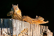 The Essence of the Yellow Pine Chipmunk | Chipmunk spa
