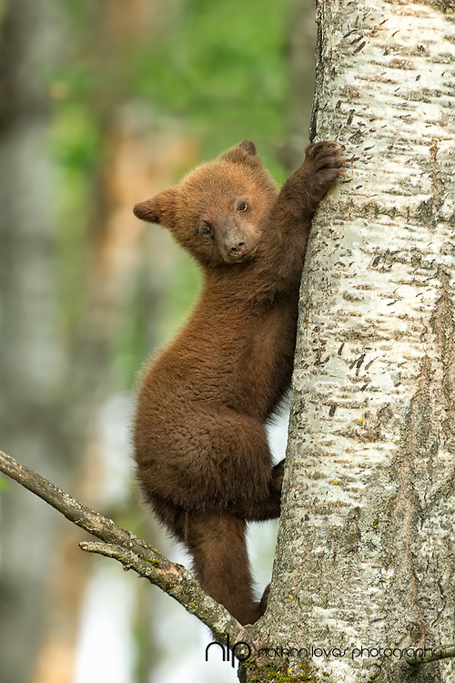 Cinnamon black bear spring cub in tree ;  taken in wild in Minnesota.