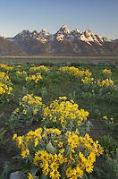 Meadows of Balsamroot (Balsamorhiza sagittata) at Antelope Flats, Grand Teton National Park Wyoming