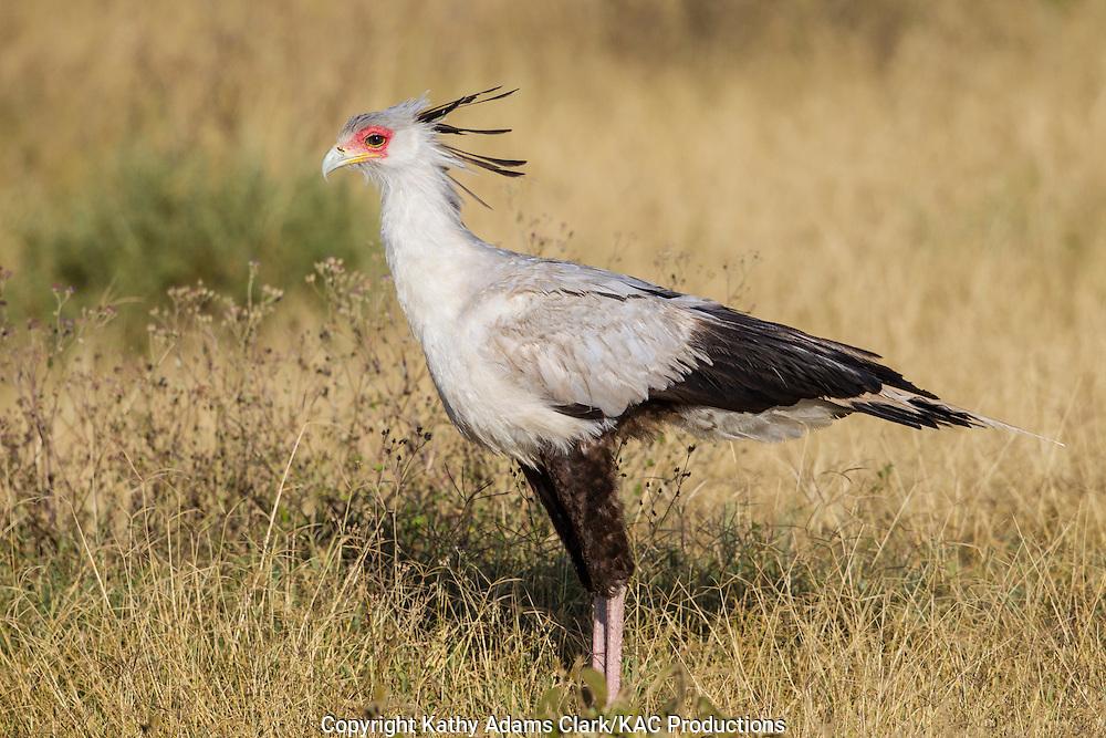 Secretary Bird, Sagittarius serpentarius, near Ndutu, in the Ngorongoro Conservation Area, Tanzania, Africa.