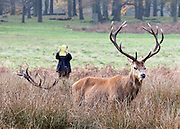 © Licensed to London News Pictures. 29/11/2014. Richmond, UK. A man photographs a stag with a tablet computer.  People and animals enjoy the late Autumn sunshine in Richmond Park, Surrey, today 29th November 2014. Photo credit : Stephen Simpson/LNP