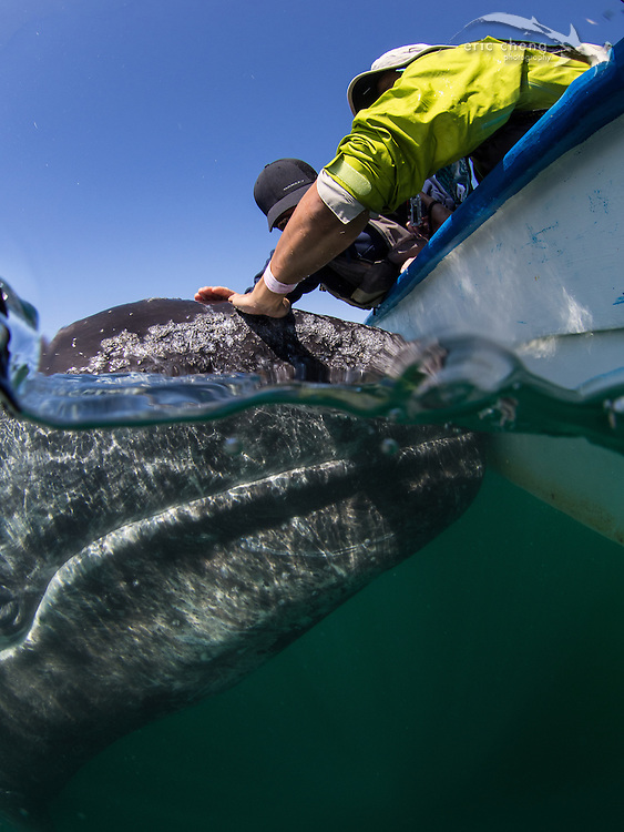 Eddie Kisfaludy and Brian Lam pet a baby gray whale (Eschrichtius robustus), which has approached our panga in Laguna San Ignacio, Baja California, Mexico