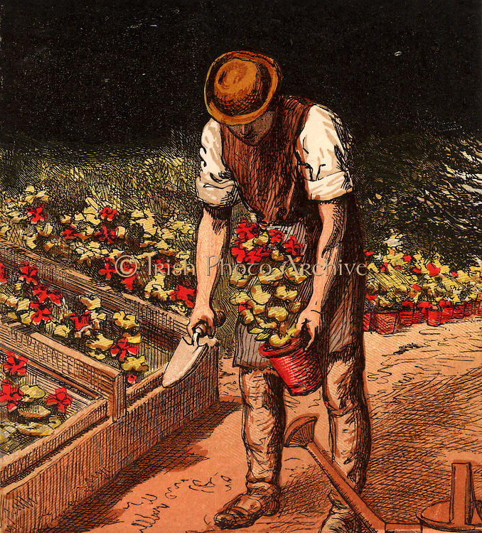 Gardener taking Geraniums (Zonal pelargoniums)out of a cold frame where they have been hardened off before planting out in summer bedding schemes. Chromolithograph from a children's book published London, 1867.
