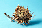 small dried up sunflower head