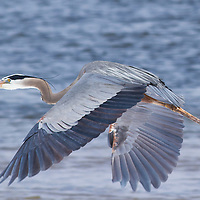 Great blue heron, Yellowstone National Park.