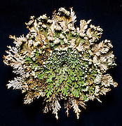 studio still life Rose of Jericho