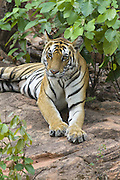Bengal Tiger<br /> Panthera tigris <br /> Adult female<br /> Bandhavgarh National Park, India