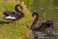 Black Swan in the National Kandawgyi Gardens  Pyin Oo Lwin Mandalay state Myanmar (Burma)