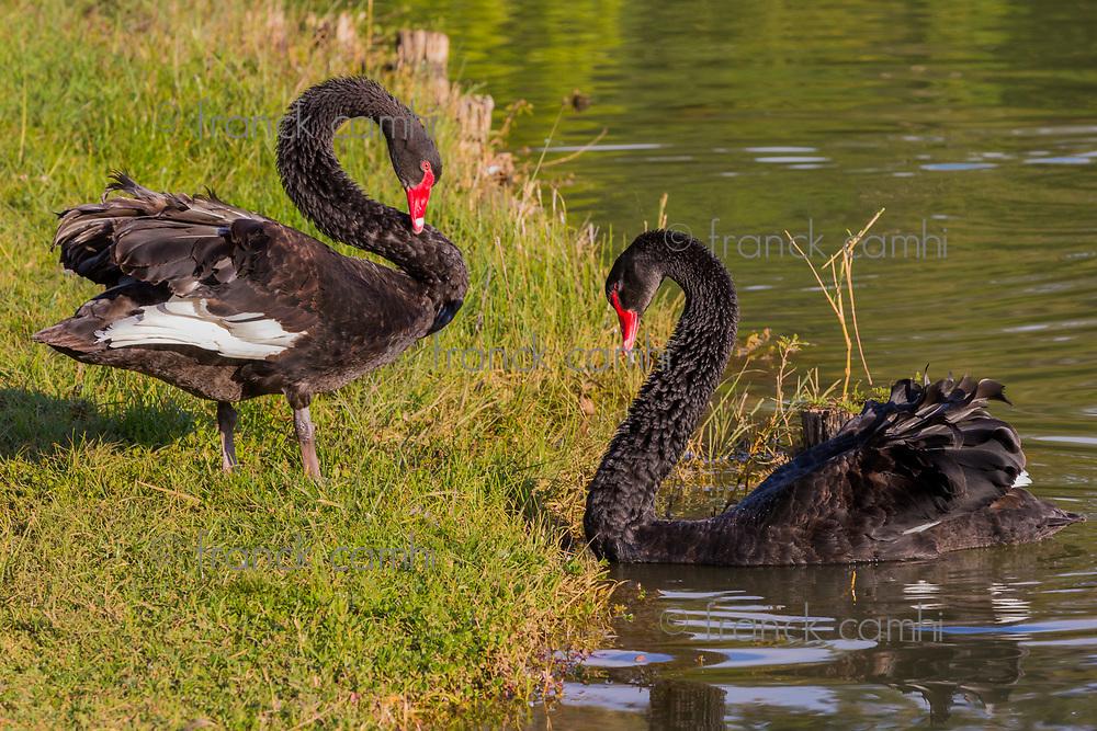 Black Swan in the National Kandawgyi Gardens  Pyin Oo Lwin Mandalay state Myanmar (Burma)