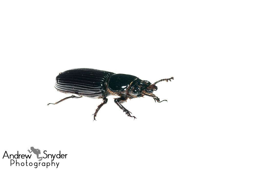 Bess Beetle, Passalidae, Chenapau, Guyana, March 2014
