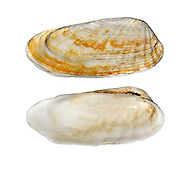 American Piddock - Petricola pholidofolius