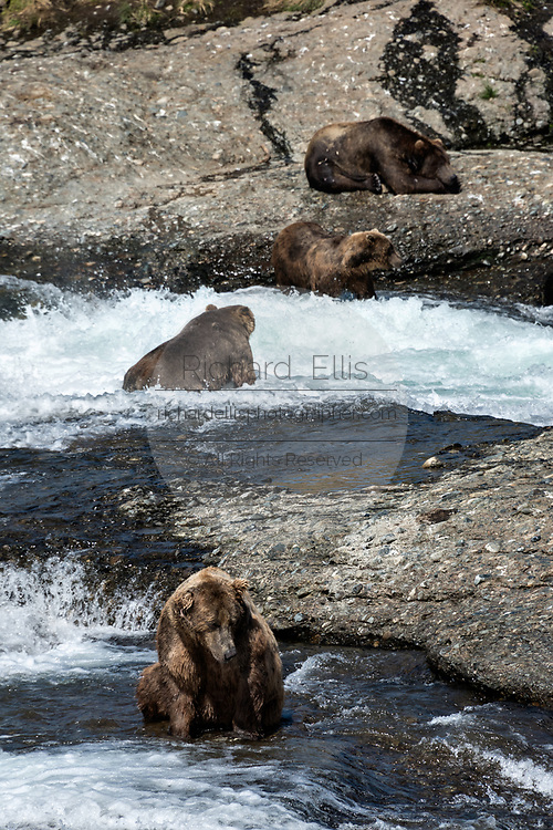 Large adult grizzly bears fish for chum salmon in the upper McNeil River falls at the McNeil River State Game Sanctuary on the Kenai Peninsula, Alaska. The remote site is accessed only with a special permit and is the world's largest seasonal population of brown bears.