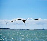 """Vliegende meeuw bij de pier, op de achtergrond de industrie langs de Nieuwe Waterweg, Hoek van Holland - Gull near the pier, on the background the industry along the """"Nieuwe Waterweg"""" Hoek van Holland, Netherlands"""