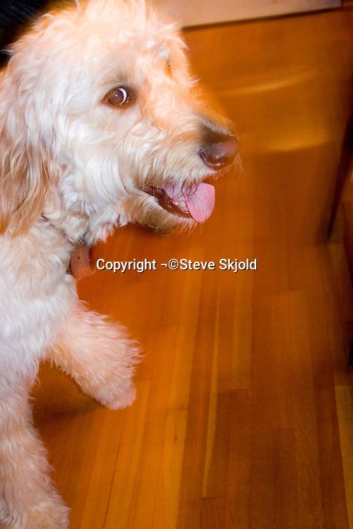 Golden doodle dog posing.  St Paul Minnesota USA