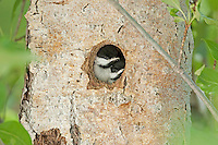 A pair of Black Capped Chickadees waits patiently for the adults to return and feed them in a nesting cavity in a cottonwood tree in a northern Utah valley.