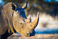 Portrait of a White Rhino, Dronfield Nature Reserve, Nothern Cape, South Africa