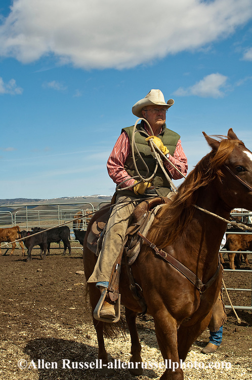 Cowboy Lyle Woosley ropes and drags calves to the fire to be branded, Wilsall, Montana,<br /> MODEL RELEASED, PROPERTY RELEASED