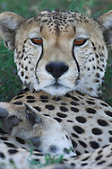 Cheetah, Acionyx jubatus, Serengeti NP, Tanzania