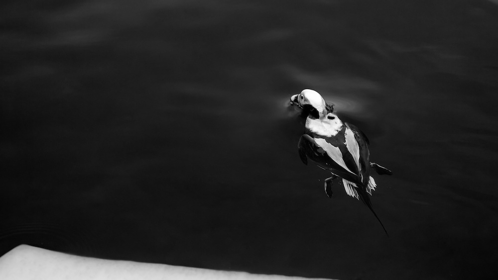 http://Duncan.co/long-tailed-duck-breaching-the-surface