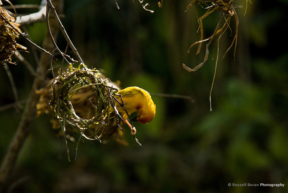 A male Golden Weaver Bird weaving a nest in Mombasa, Kenya