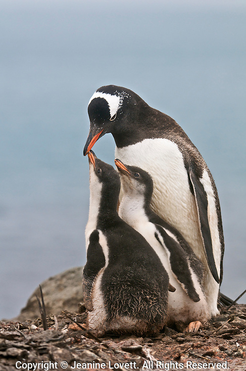 Gentoo penguin family portait of one adult and two chicks asking for food.