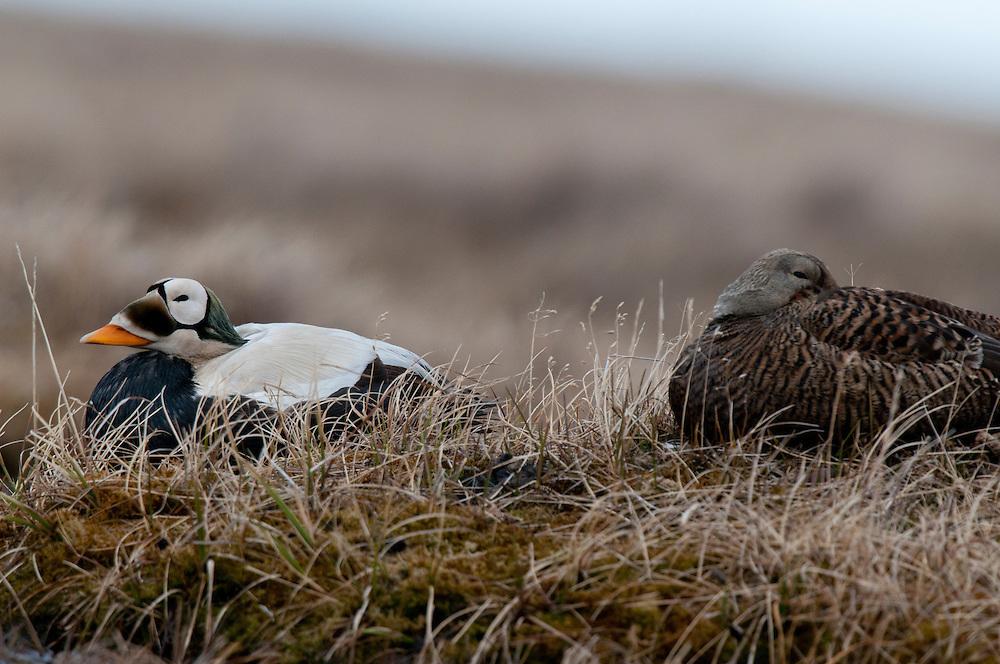 Spectacled eider pair (Somateria fischeri) resting on tundra near Barrow Alaska