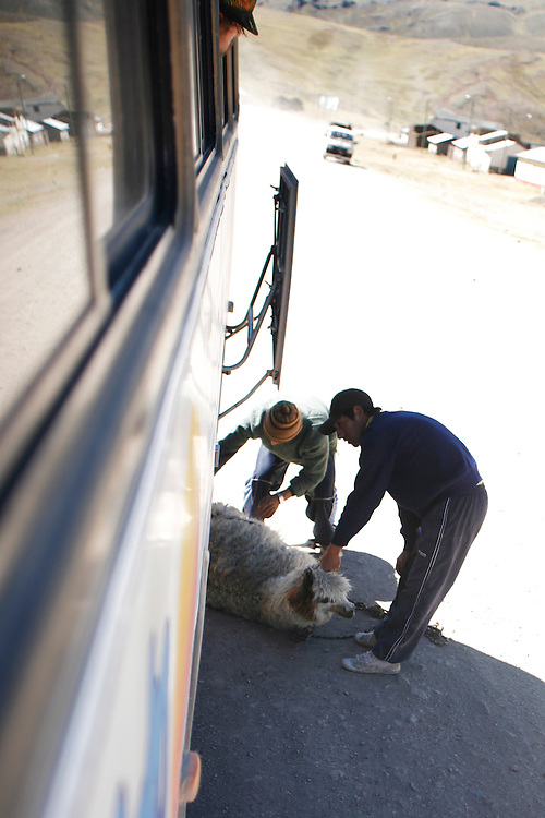 An live alpaca is loaded into the storage compartment of a bus during a journey from Rumichaca to Huancavelica, Peru, Thursday, May 15, 2008.