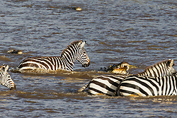 A crocodile (Crocodylinae) attacking a herd of zebra (Equus quagga) crossing a river during Kenya's great migration, Masai Mara, Kenya