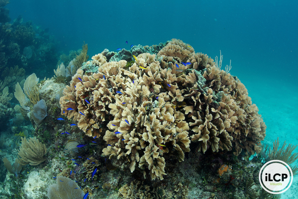 A large healthy coral colony with small reef fish.