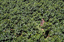 Young Lao woman working in an arabica coffee plantation. Packsong, Laos, Asia
