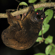 Philippine flying lemur, Cynocephalus volans, galéopithèque
