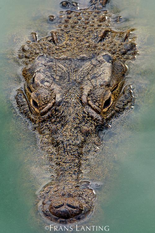 Crocodile, Crocodylus niloticus, Zambezi River, Zambia.