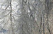 This is a close up of icicles on a tree branch.