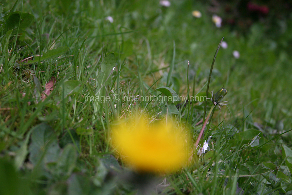 Detail of grass with blurred yellow dandalion in the foreground