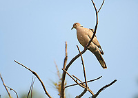 Eurasian Collared Dove (Streptopelia decaocto) perched in a tree, Jocotopec, Jalisco, Mexico