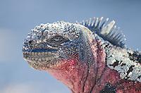 Marine iguana, Amblynchus cristatus venustissimus on Punta Suarez on Espanola in the Galapagos Islands National Park and Marine Reserve, Ecuador.